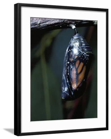 Monarch Butterfly in Chrysalis Stage-Jeff Foott-Framed Art Print