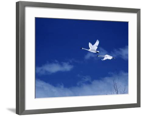 Pair of Trumpeter Swans (Cygnus Cygnus Buccinator) in Flight Against a Blue Sky, Usa-Jeff Foott-Framed Art Print