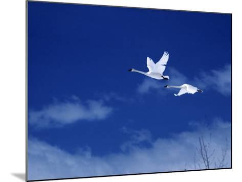 Pair of Trumpeter Swans (Cygnus Cygnus Buccinator) in Flight Against a Blue Sky, Usa-Jeff Foott-Mounted Photographic Print