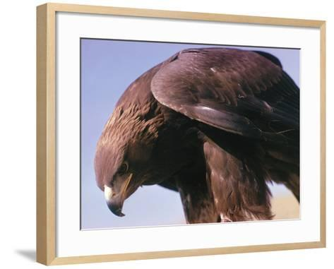 Detail of Golden Eagle with Full Brown Feathers-Jeff Foott-Framed Art Print