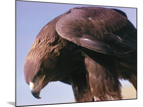 Detail of Golden Eagle with Full Brown Feathers-Jeff Foott-Mounted Photographic Print
