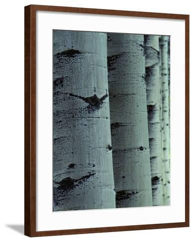 Detailed of Several Aspen Tree Trunks-Jeff Foott-Framed Art Print
