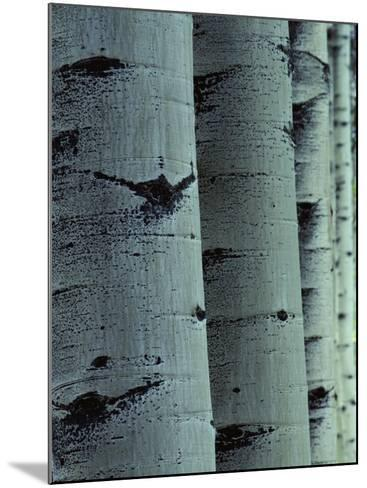 Detailed of Several Aspen Tree Trunks-Jeff Foott-Mounted Photographic Print