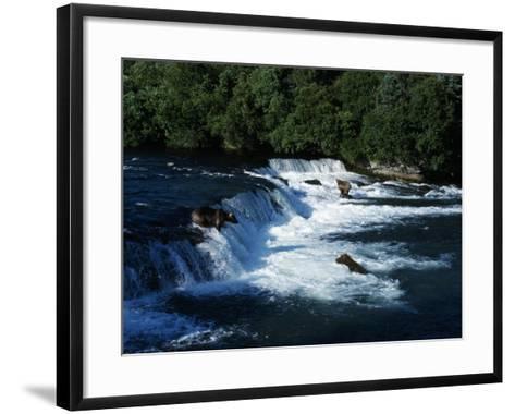 Grizzly Bears Fishing-Jeff Foott-Framed Art Print
