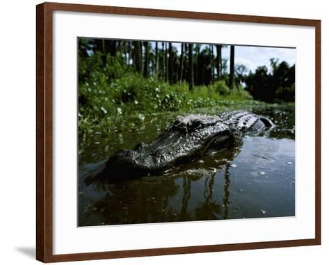 American Alligator in Swamp-Jeff Foott-Framed Art Print