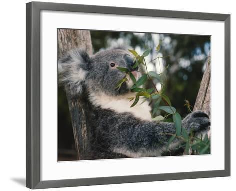Koala Bear Eats Leaves in Tree-Jeff Foott-Framed Art Print