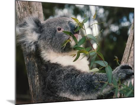 Koala Bear Eats Leaves in Tree-Jeff Foott-Mounted Photographic Print
