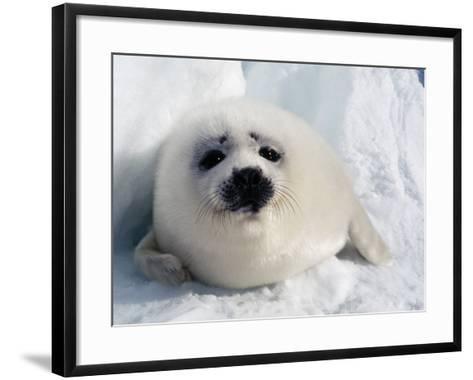 Harp Seal Pup-Jeff Foott-Framed Art Print