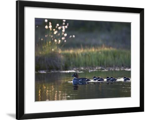 Common Goldeneye Ducks (Bucephala Clangula) with Ducklings Swimming in a Pond--Framed Art Print
