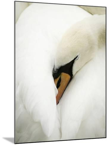 A Resting Swan--Mounted Photographic Print
