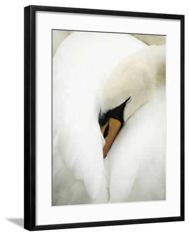 A Resting Swan--Framed Art Print
