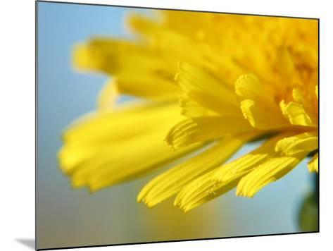 Dreamy Dandelion Detail, Fresh and Colorful--Mounted Photographic Print