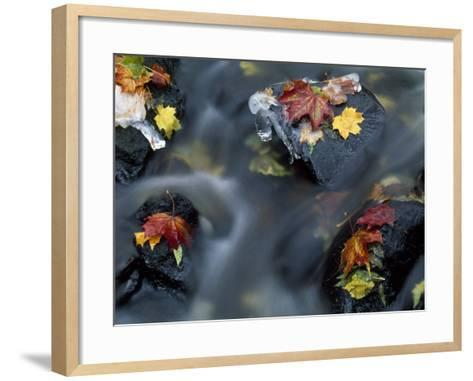High Angle View of Maple Leaves and Rocks in a Stream--Framed Art Print