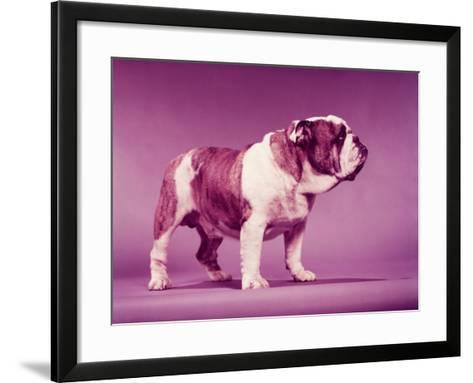 Brown and White Bulldog-H^ Armstrong Roberts-Framed Art Print