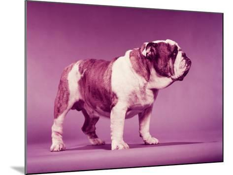 Brown and White Bulldog-H^ Armstrong Roberts-Mounted Photographic Print
