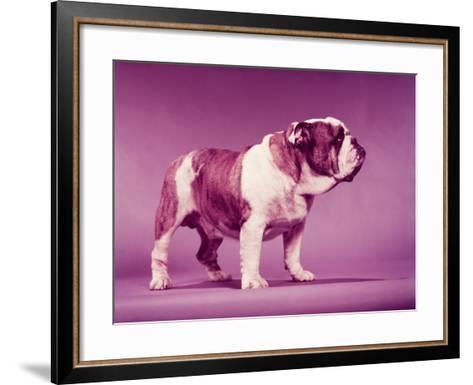 Bulldog-H^ Armstrong Roberts-Framed Art Print
