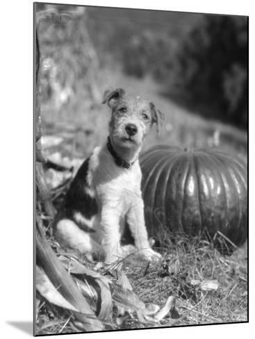 Wire Hair Terrier-H^ Armstrong Roberts-Mounted Photographic Print