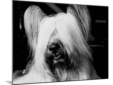 Skye Terrier With Hair Covering Eyes and Bottom Teeth Showing-H^ Armstrong Roberts-Mounted Photographic Print