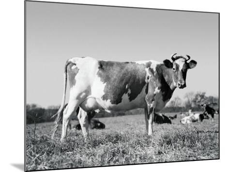 Guernsey Cow-H^ Armstrong Roberts-Mounted Photographic Print