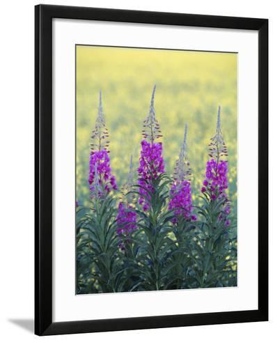 Fireweed--Framed Art Print