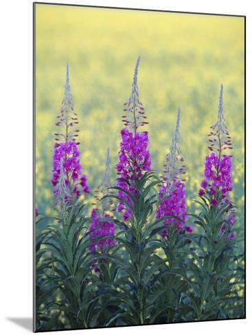 Fireweed--Mounted Photographic Print