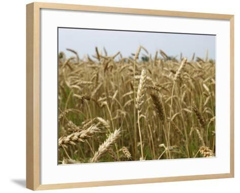 Arkansas, Paragould, Winter Wheat Is Planted in the Fall and Harvested in the Spring--Framed Art Print