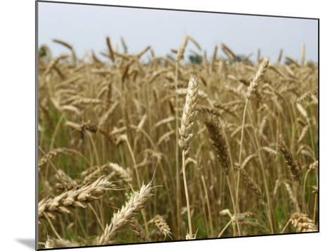 Arkansas, Paragould, Winter Wheat Is Planted in the Fall and Harvested in the Spring--Mounted Photographic Print