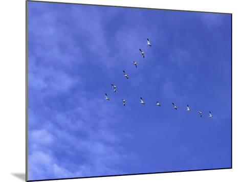 Arkansas, Stuttgart, Geese Head South in the Skies over Southeastern Arkansas--Mounted Photographic Print