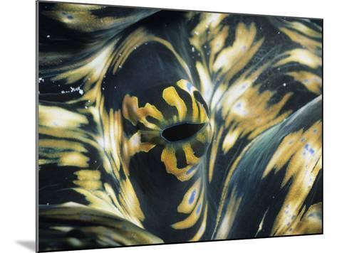 Close-Up of Giant Clam (Tridacna), Suluwesi, Indonesia--Mounted Photographic Print