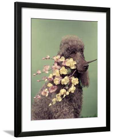 French Poodle Holding Flowers in Mouth-H^ Armstrong Roberts-Framed Art Print
