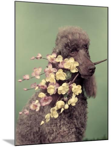 French Poodle Holding Flowers in Mouth-H^ Armstrong Roberts-Mounted Photographic Print