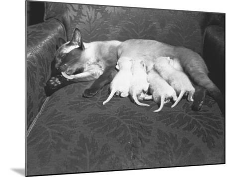 Siamese Cat Feeding Kittens-George Marks-Mounted Photographic Print