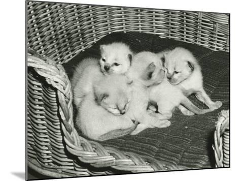 Four Kitten in Wicker Basket-George Marks-Mounted Photographic Print