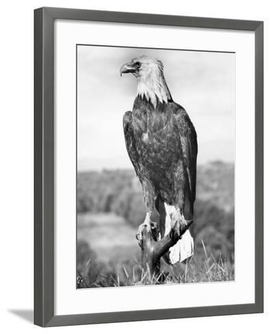 Bald Eagle-George Marks-Framed Art Print