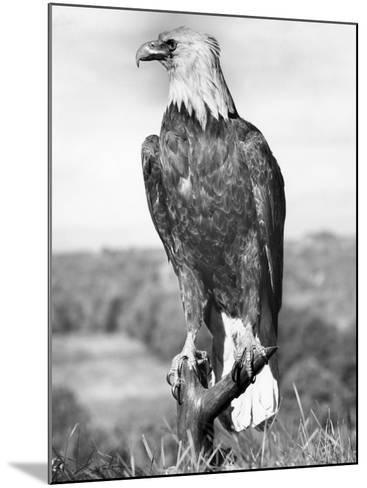 Bald Eagle-George Marks-Mounted Photographic Print