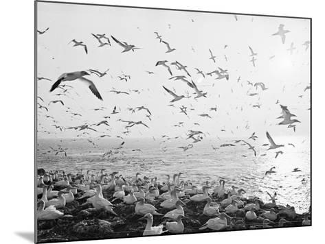 Seagulls Nesting--Mounted Photographic Print
