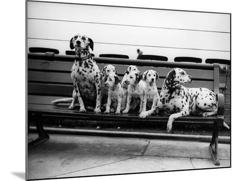 Dalmatian Pups--Mounted Photographic Print