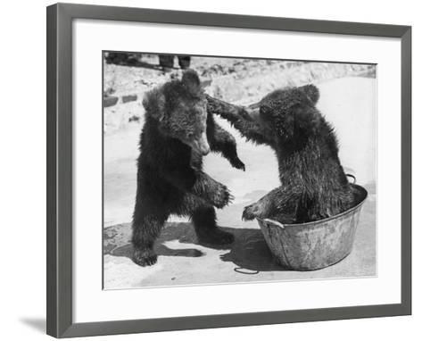 Bear Baiting--Framed Art Print