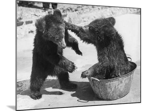 Bear Baiting--Mounted Photographic Print