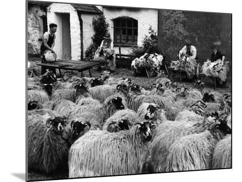 Sheep Shearing--Mounted Photographic Print