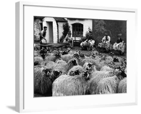 Sheep Shearing--Framed Art Print