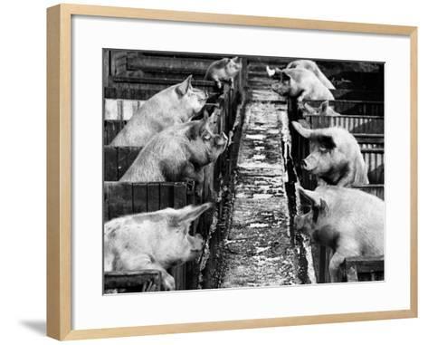 Pig Sty Gossip--Framed Art Print