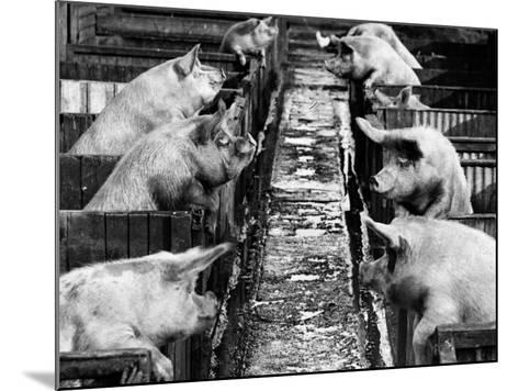 Pig Sty Gossip--Mounted Photographic Print
