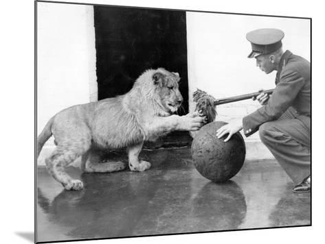 Lion Games--Mounted Photographic Print