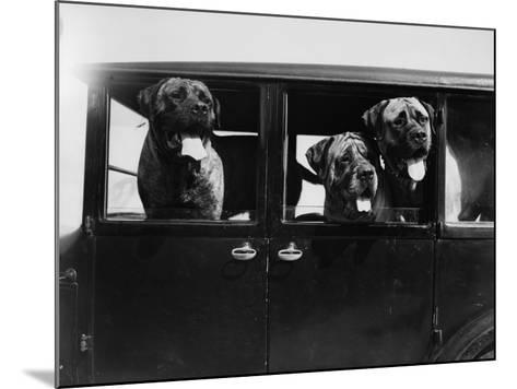 Mastiffs--Mounted Photographic Print