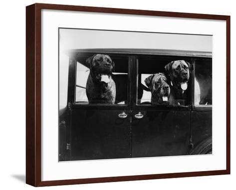 Mastiffs--Framed Art Print