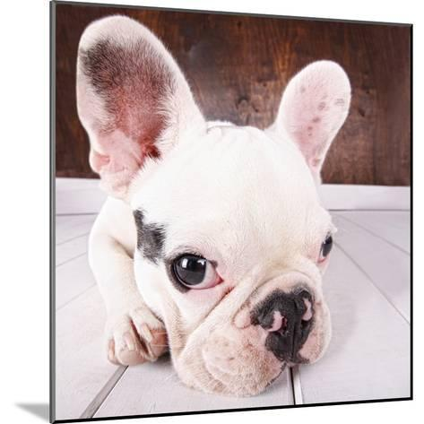 French Bulldog Puppy-MAIKA 777-Mounted Photographic Print