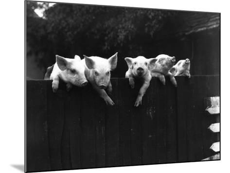 Wall Pigs--Mounted Photographic Print