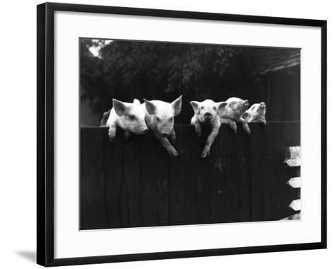 Wall Pigs--Framed Art Print