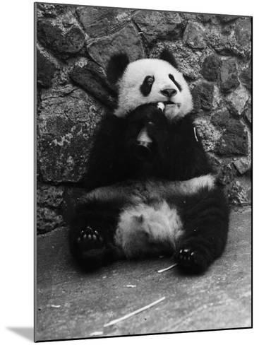 Panda Lunchtime--Mounted Photographic Print